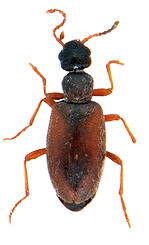 Anthicus flavipes 1.jpg