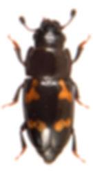 Glischrochilus quadriguttatus 1.jpg