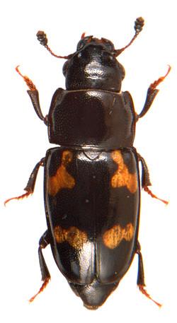 Glischrochilus quadriguttatus 1