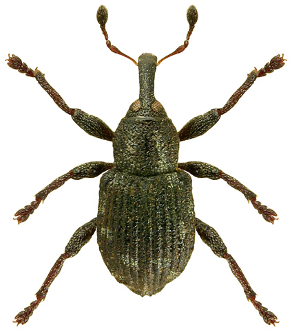 Tanysphyrus lemnae 2