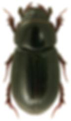 Agoliinus nemoralis 1.jpg