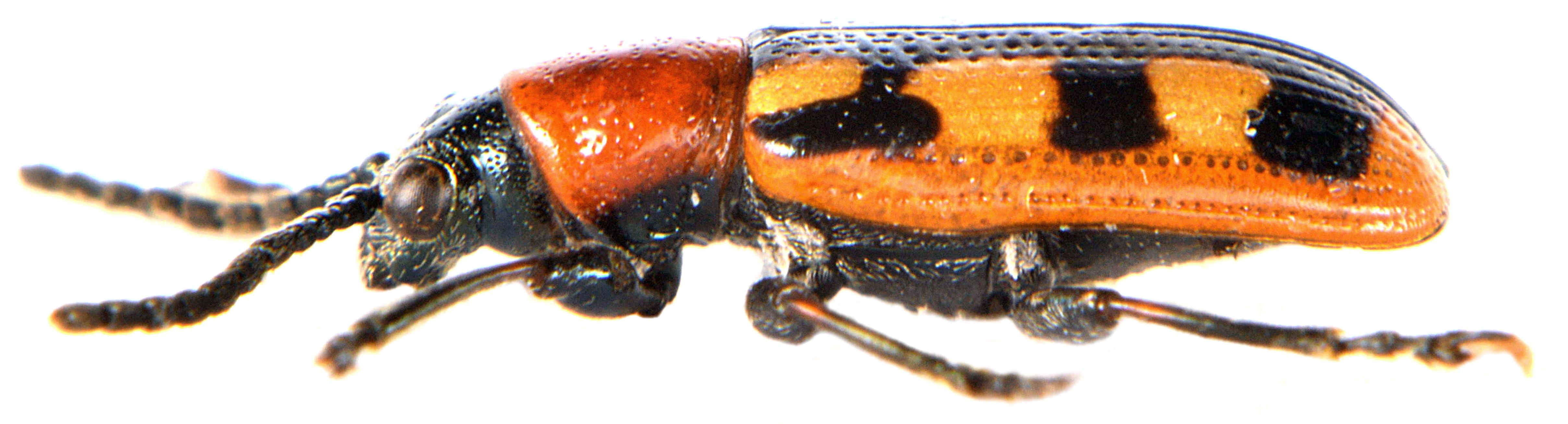 Crioceris asparagi 2
