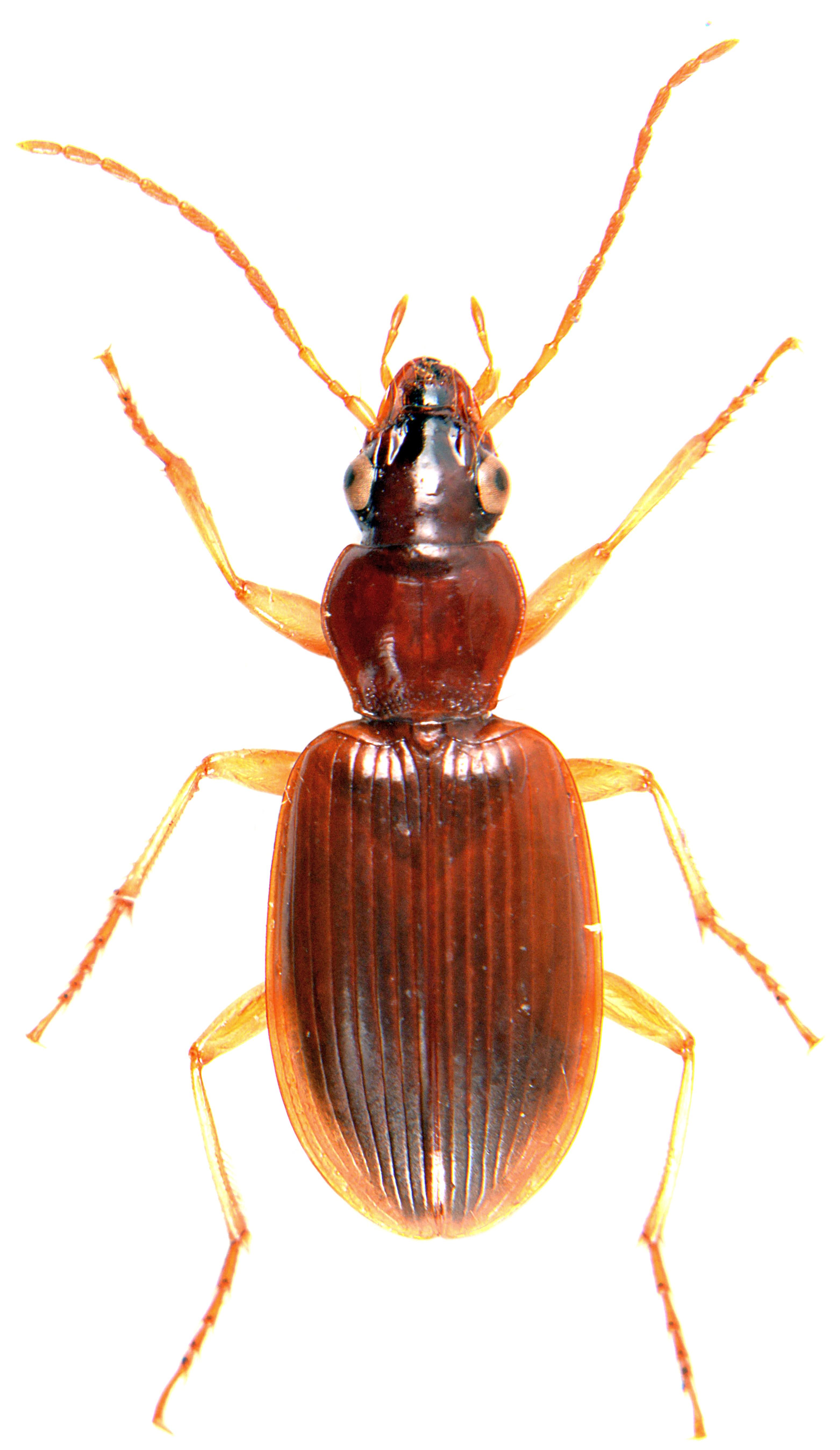 Paranchus albipes