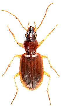 Paranchus albipes 1.jpg