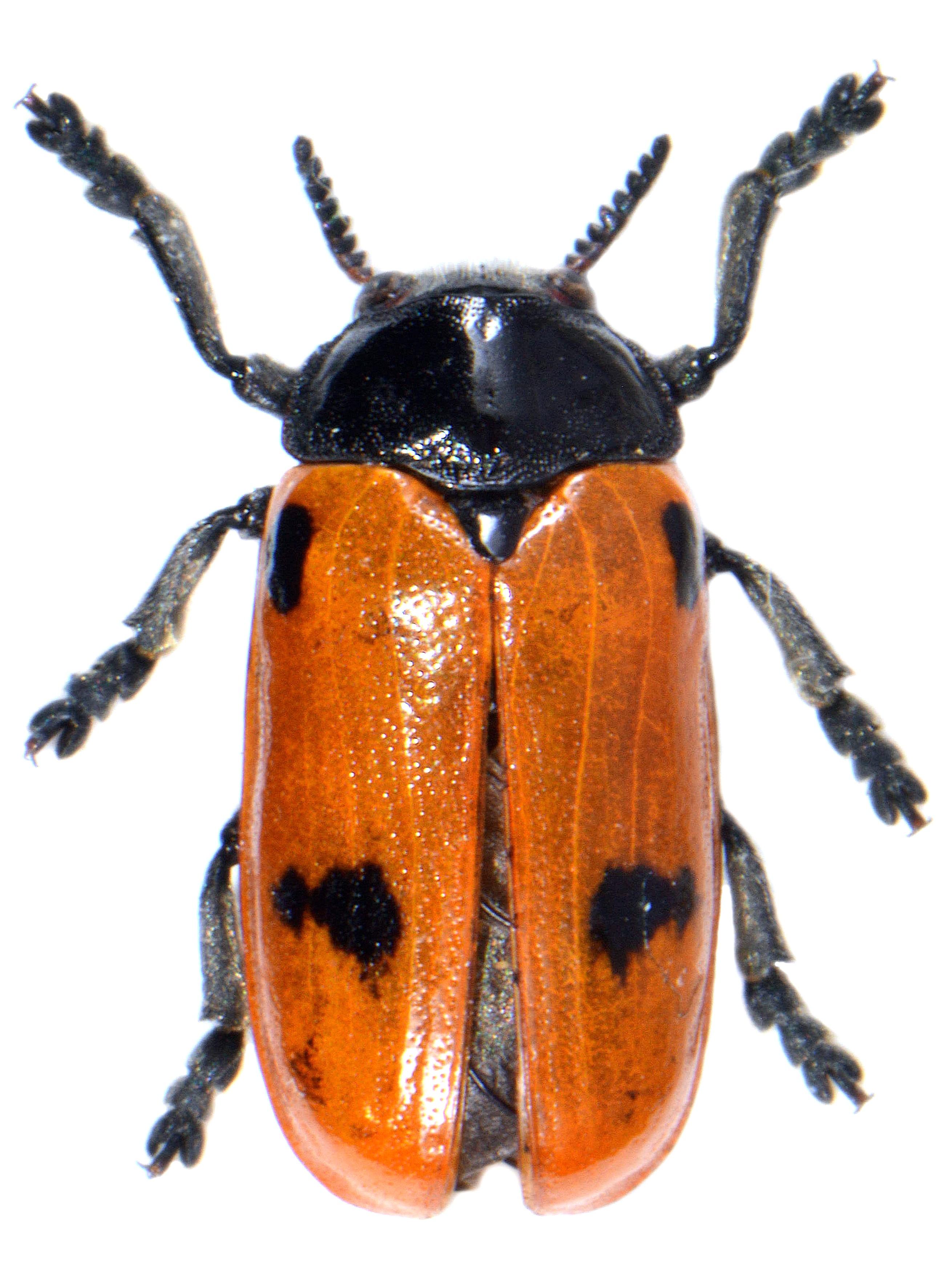 Clytra quadripunctata