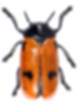 Clytra quadripunctata 1.jpg