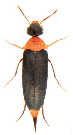 Mordellochroa abdominalis 1