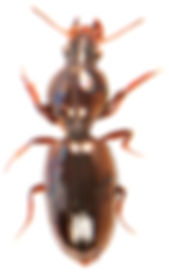 Dyschirius thoracicus.jpg