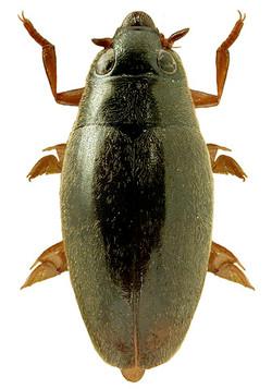 Orectochilus villosus 2