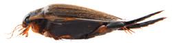 Acilius sulcatus 3