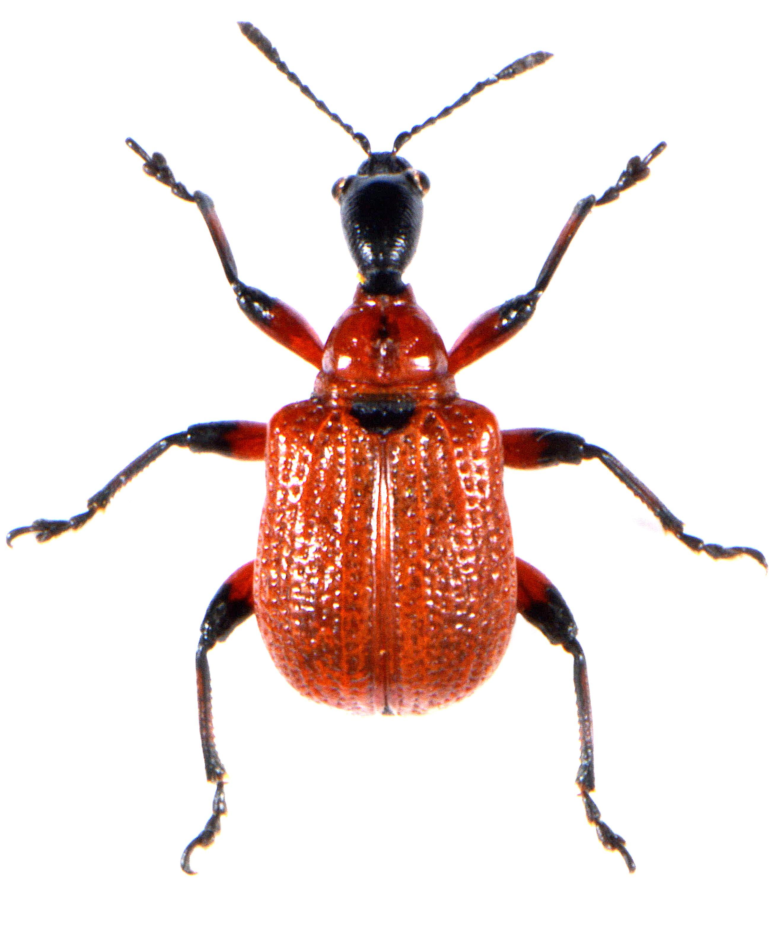 Apoderus coryli 1