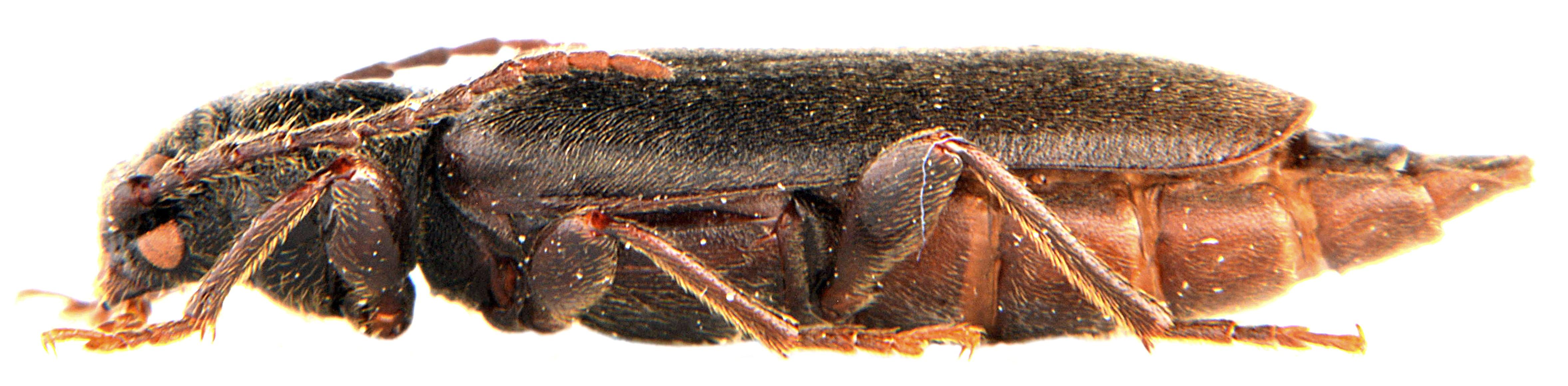 Tetropium castaneum 3