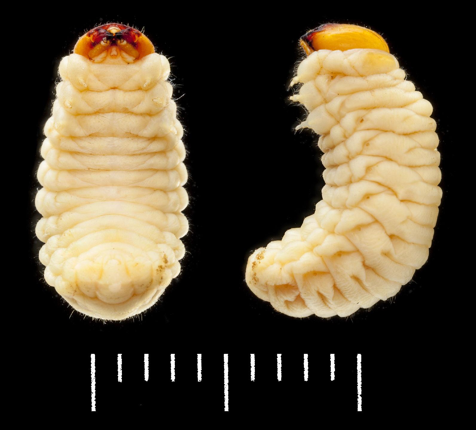 Platyrhinus resinosus larva