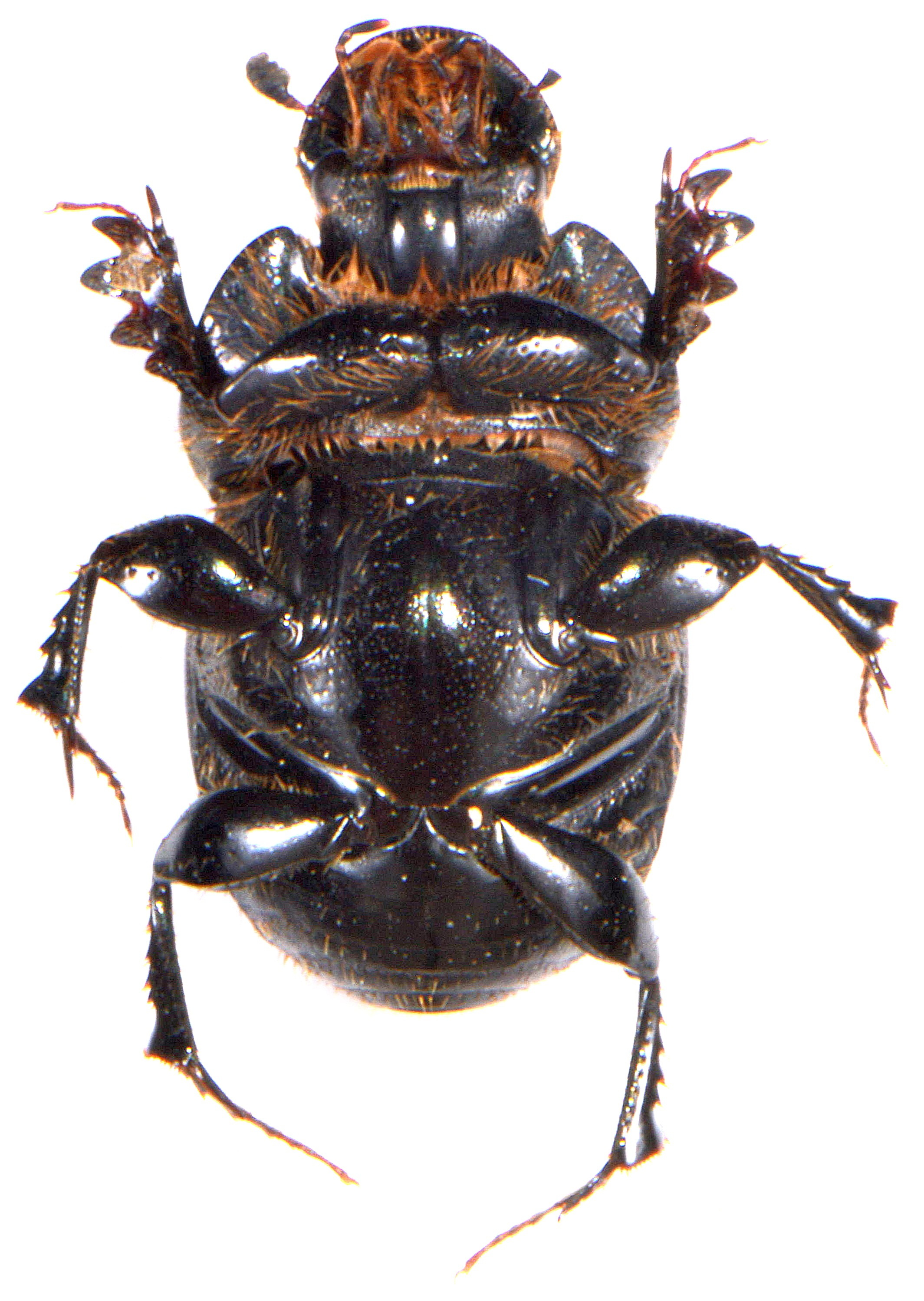 Onthophagus taurus 3