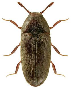 Aulonothroscus brevicollis 3
