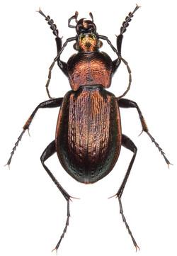 Carabus arvensis ♂
