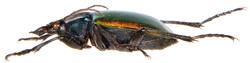 Calosoma sycophanta 3