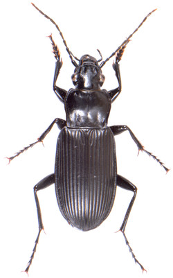 Pterostichus niger 1