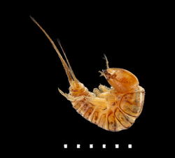 Hygrobia hermanni larva