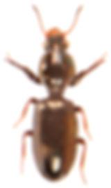 Dyschirius nitidus.jpg