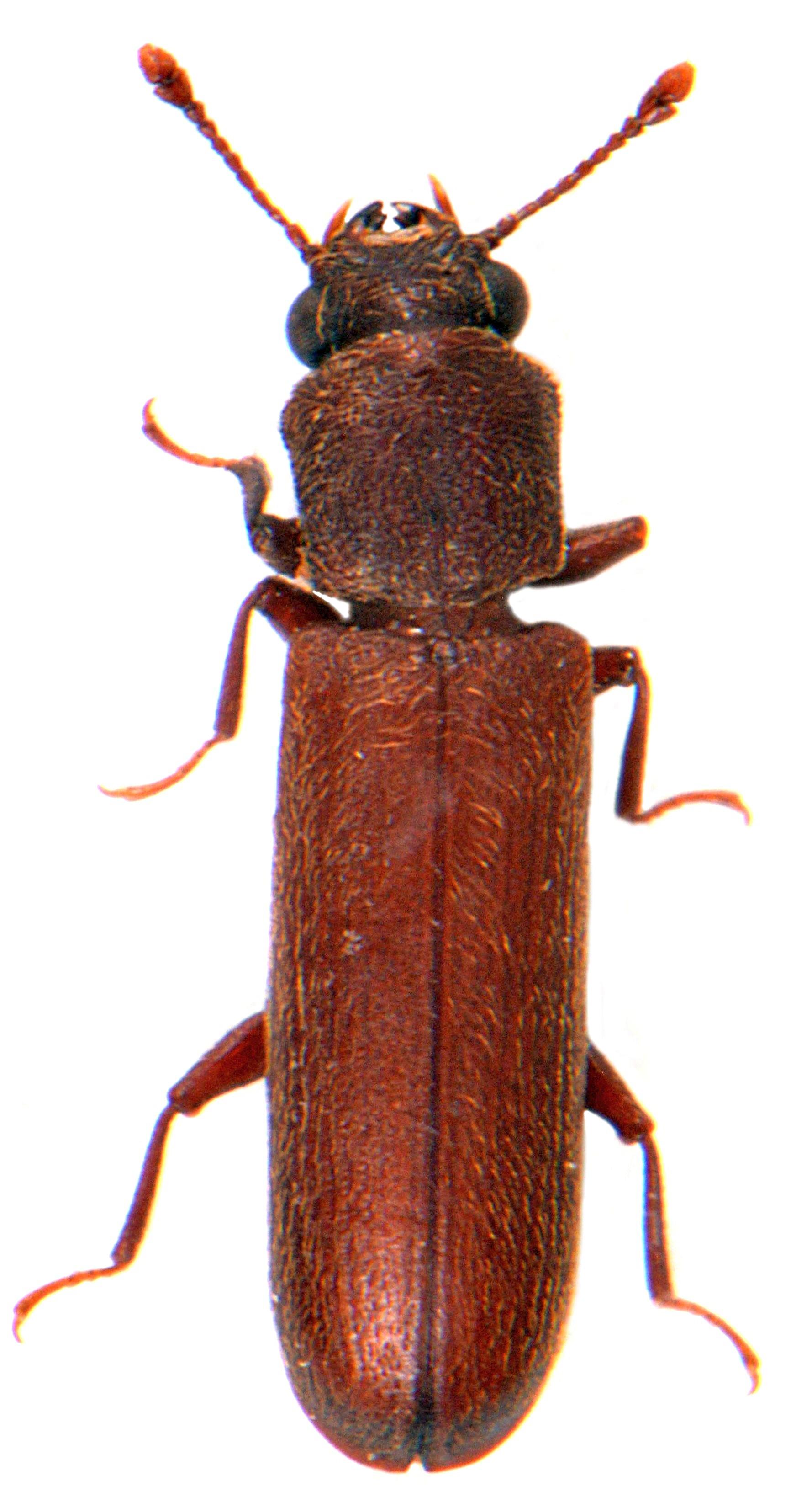 Lyctus brunneus 1