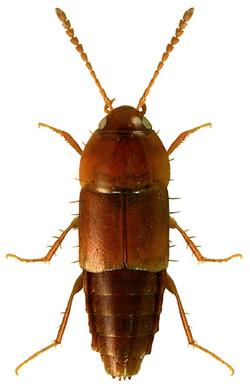 Tachyporus nitidulus 1