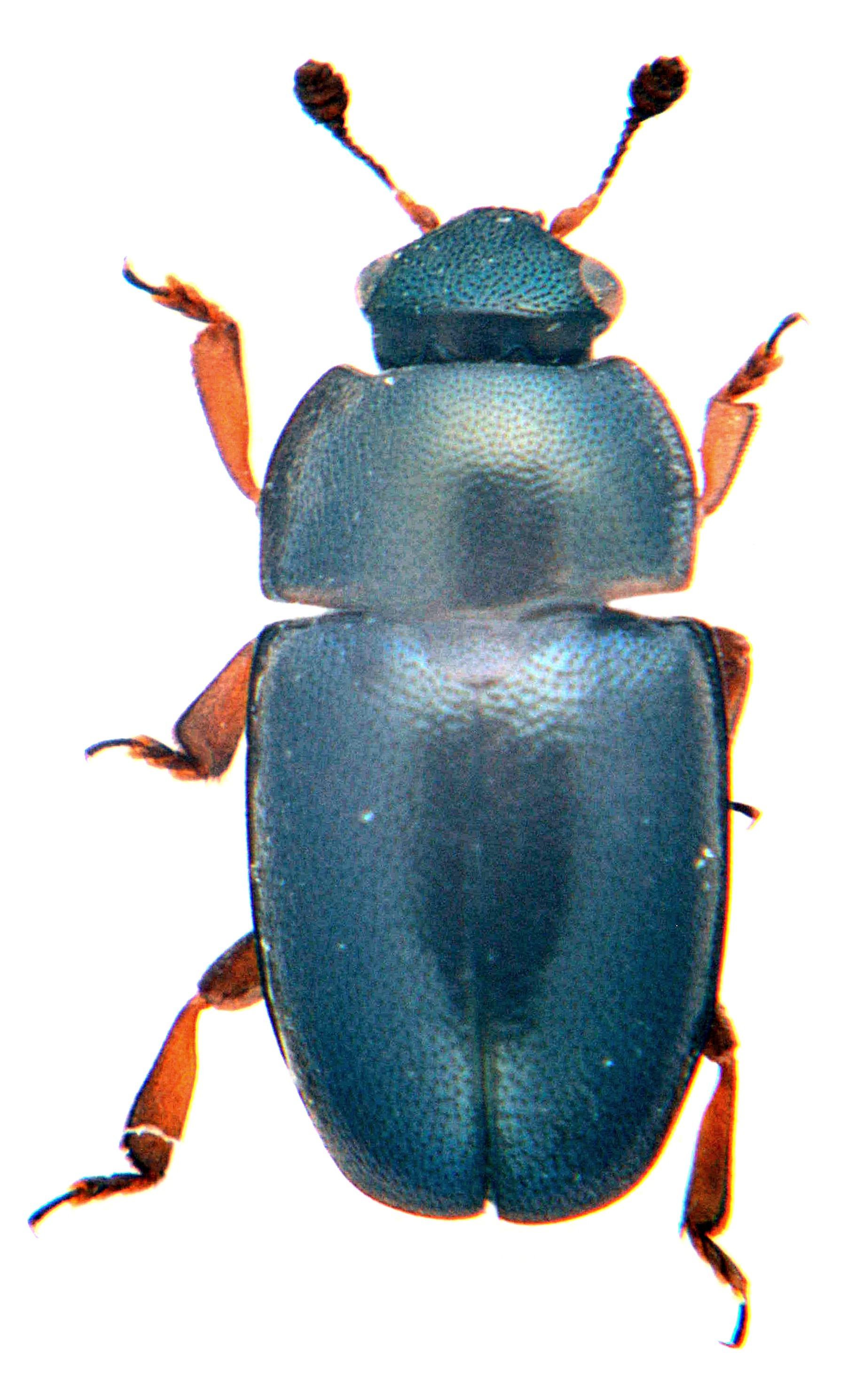 Brassicogethes viridescens