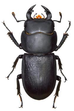 Dorcus parallelipipedus ♂