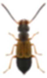 Anthophagus alpinus.jpg