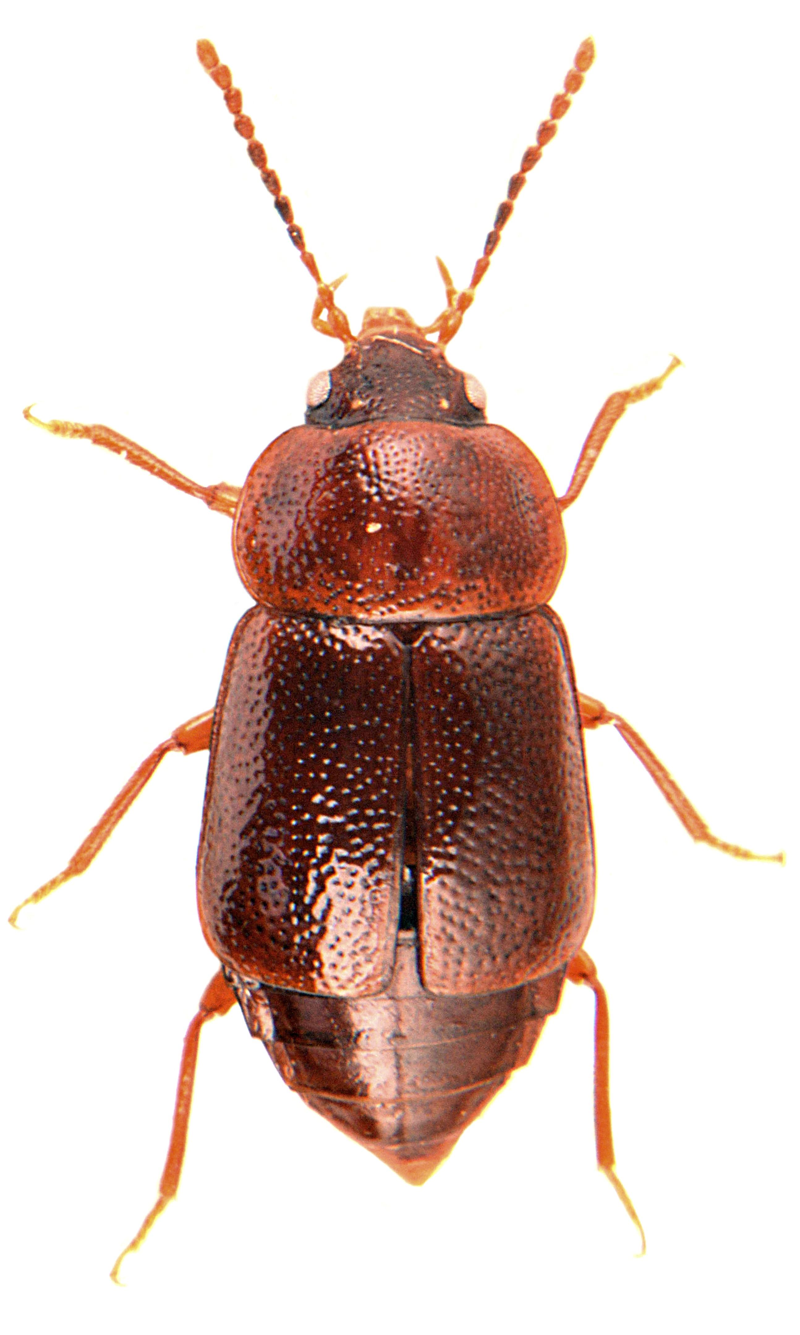 Olophrum piceum 3