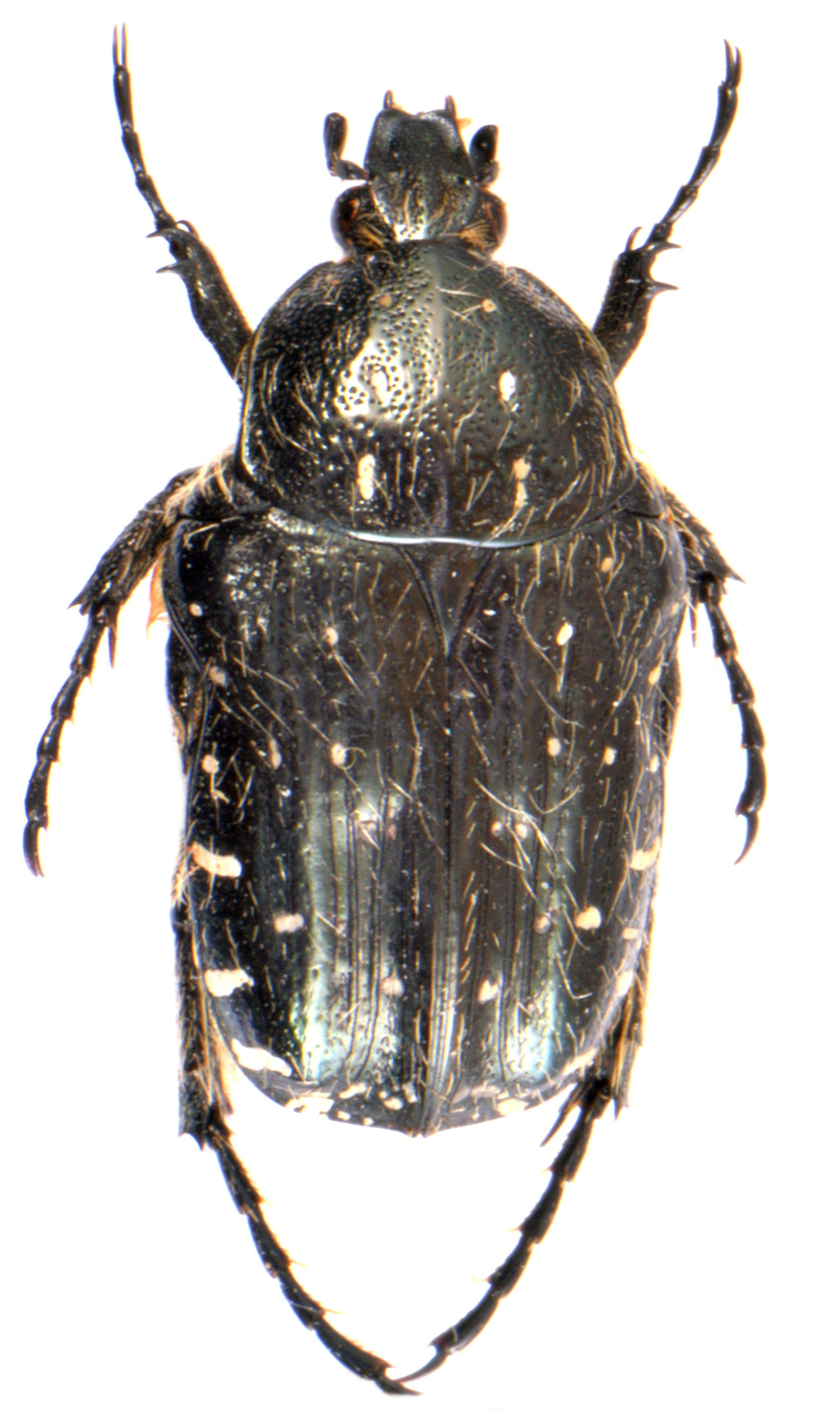 Oxythyrea funesta 1