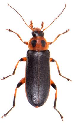 Osphya bipunctata