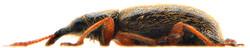 Cimberis attelaboides