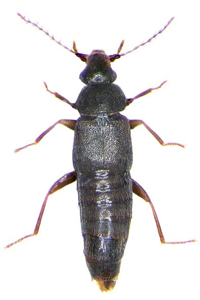 Trichophya pilicornis 2