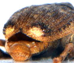 Parathelcus pollinarius 4