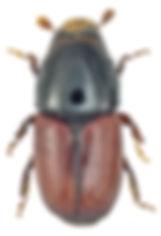 scolytus_scolytus_1.jpg