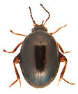 Scirtes haemisphaericus 2a.jpg