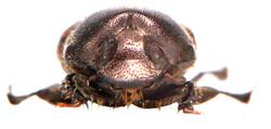 Onthophagus similis 5