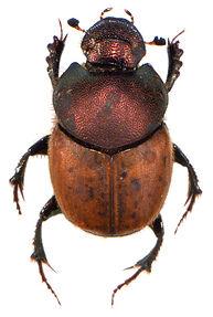 Onthophagus coenobita 10.jpg