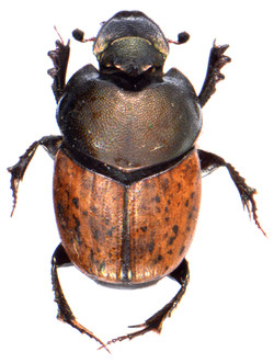 Onthophagus medius 1