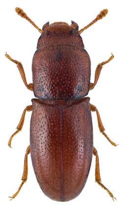Aglenus brunneus 2
