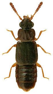 Phloeonomus punctipennis 2.jpg