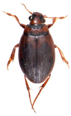 Hygrobia hermanni ♂