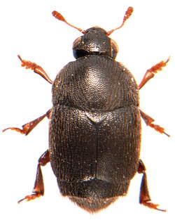 Brachypterolus linariae