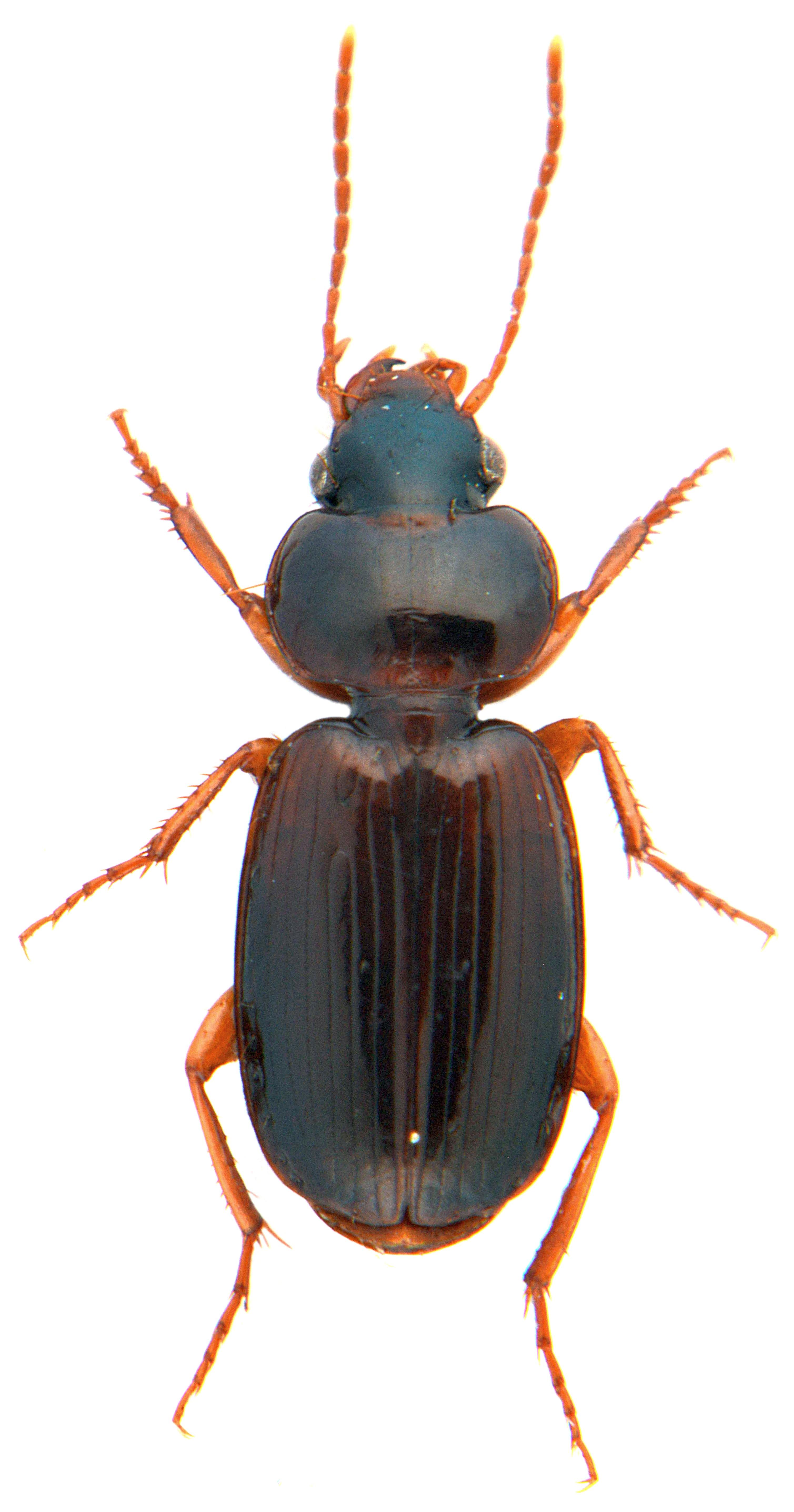 Masoreus wetterhallii