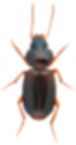 Masoreus wetterhallii.jpg