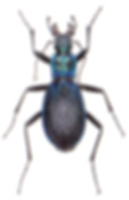 Carabus intricatus 1.jpg