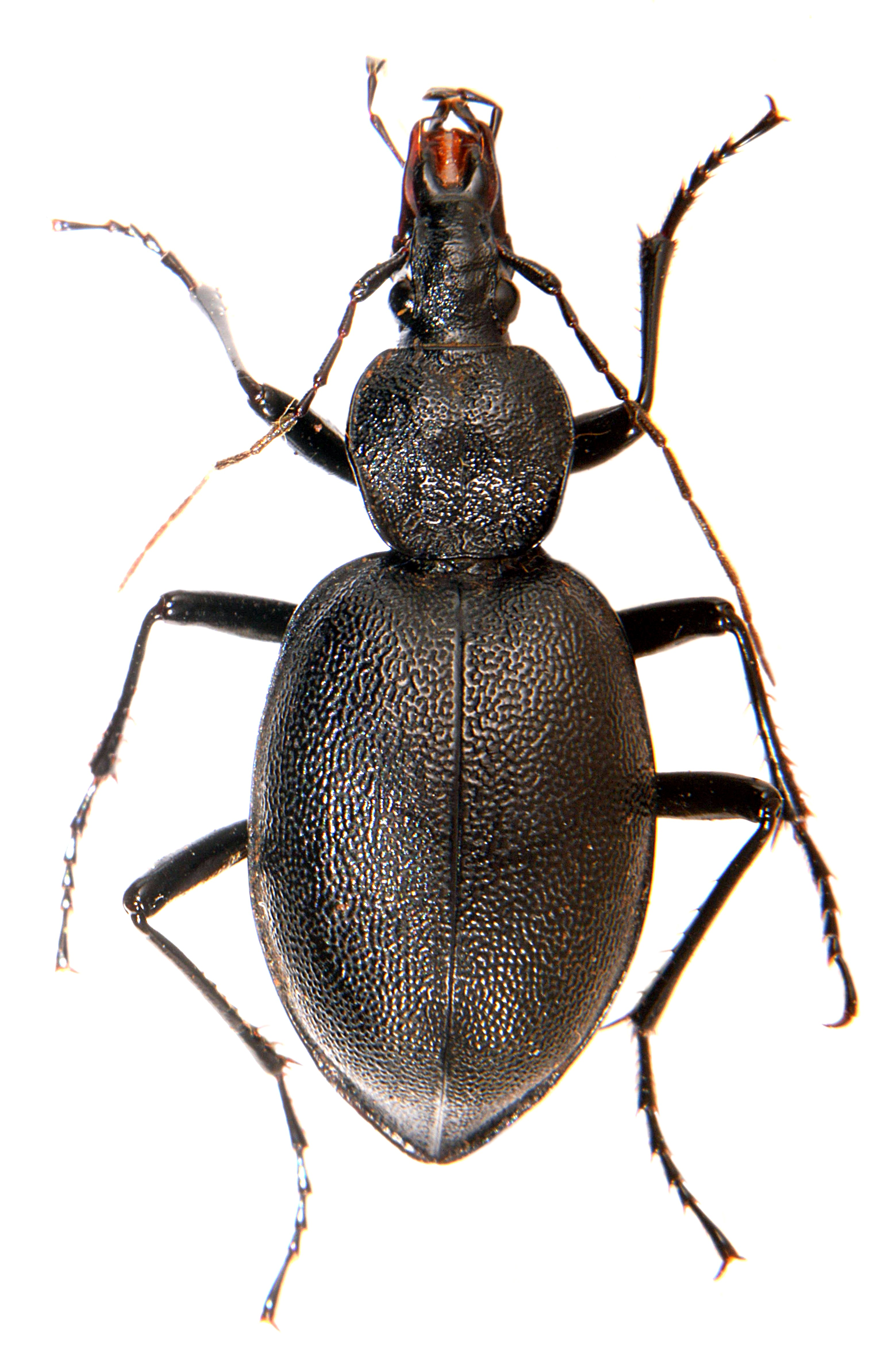 Cychrus caraboides 3