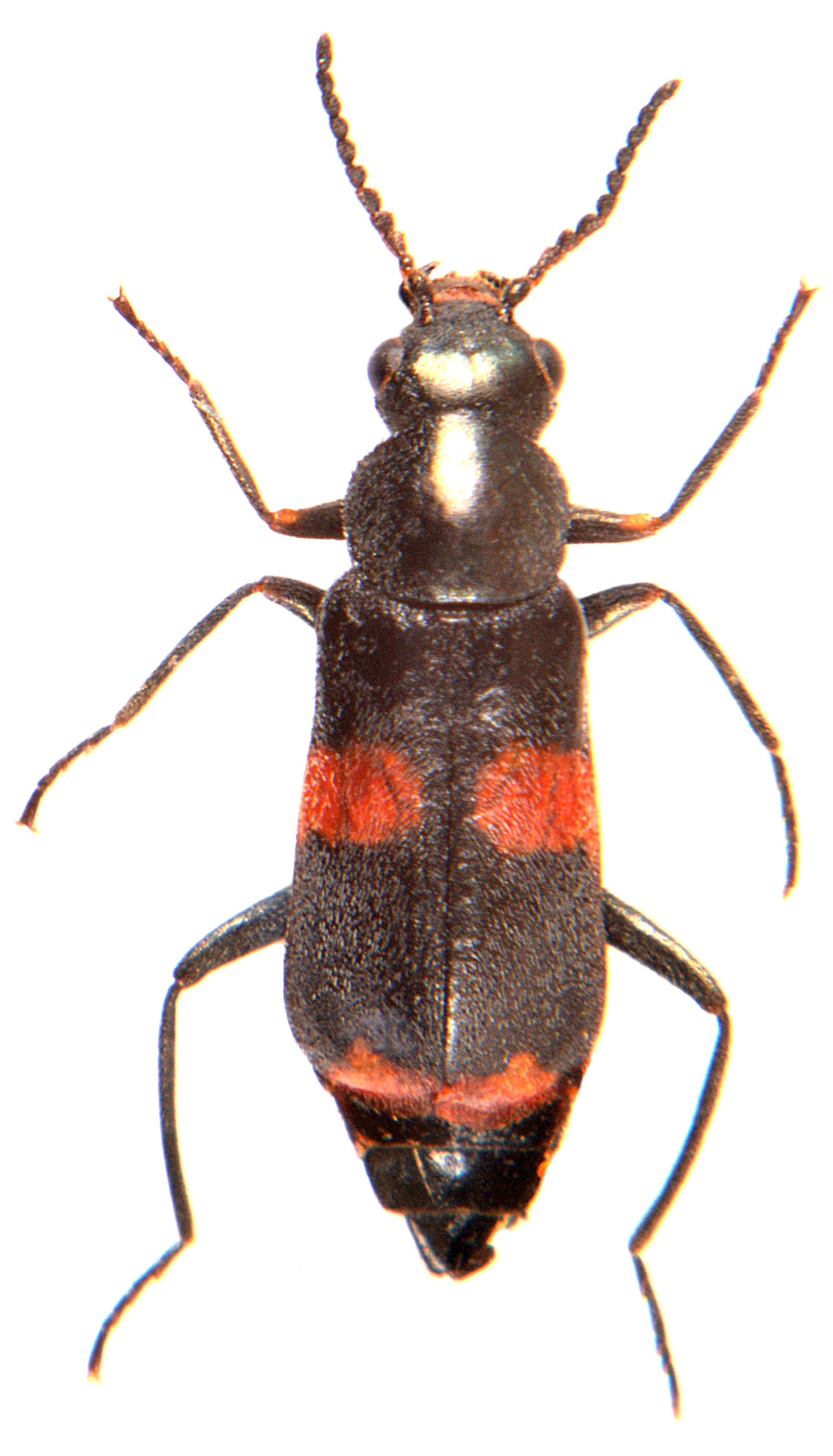 Anthocomus fasciatus 3