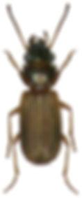 Cillenus lateralis.jpg